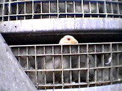 Chicken in Transport - from COK Investigation